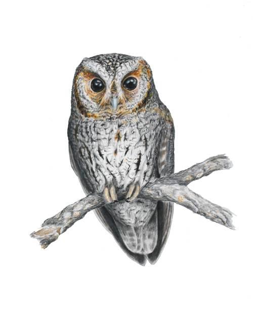 Flagellated Owl - Psiloscops flammeolus. 14 x 17