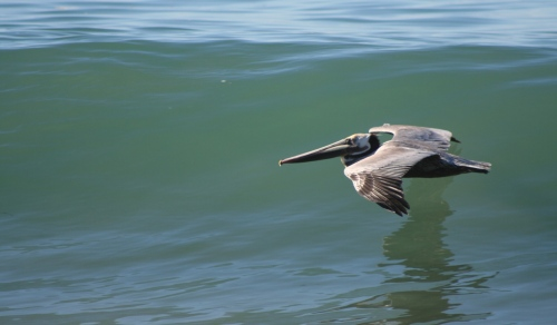 Brown Pelican- Pelecanus occidentalis
