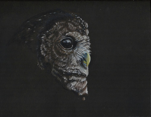 "Spotted Owl- Strix occidentalis. 9x12"" prismacolor on black paper"