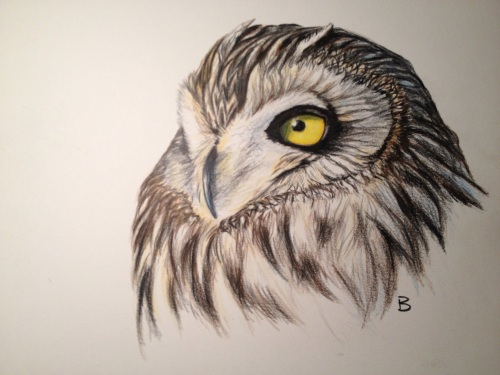 "Short-eared Owl- Asio flammeus. 9x12"" prismacolor on bristol."