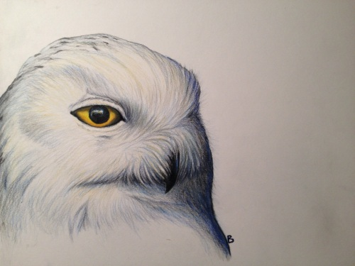 "Snowy Owl- Bubo scandiaca. 9x12"" prismacolor on bristol."