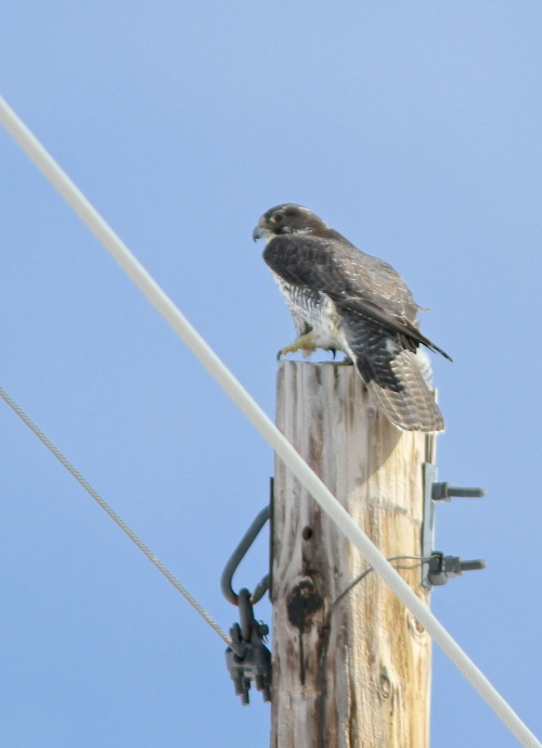 Gyrfalcon- Falco rusticolus