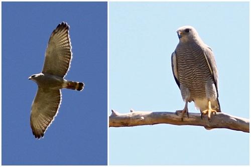 Gray Hawk- Buteo nitidus