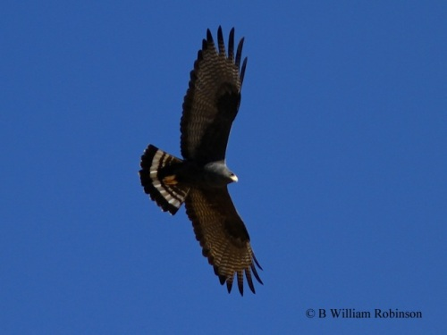 Zone-tailed Hawk- Buteo albonatatus