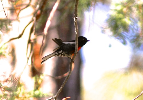 Painted Redstart- Myioborus pictus