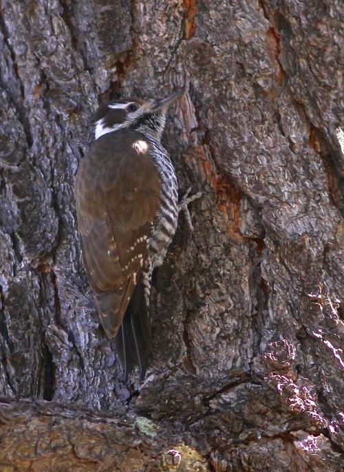 Arizona Woodpecker- Picoides arizonae