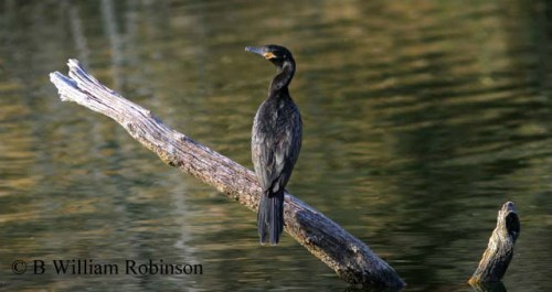 Neotropic Cormorant- Phalacrocorax brasilianus, at Patagonia Lake