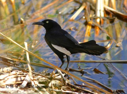 Male Great-tailed Grackle- Quiscalus mexicanus showing a leucistic primary.