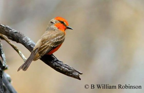 Vermilion Flycatcher- Pyrocephalus rubinus