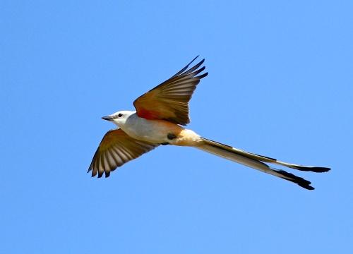 Scissor-tail Flycatcher- Tyrannus forficatus