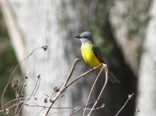 Couch's Kingbird- Tyrannus couchii