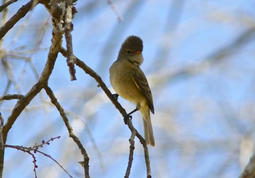 Northern Beardless-Tyrannulet- Camptostoma imberbe