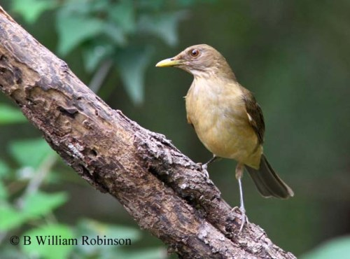 Clay-colored Thrush- Turdis grayi