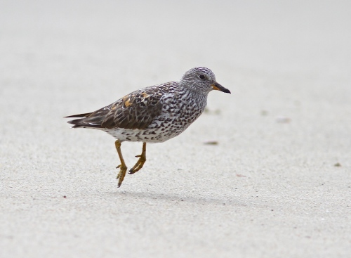 The lame-legged Surfbird