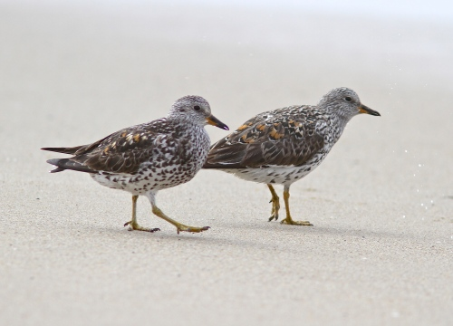 The lame-legged Surfbird, and the compatriot