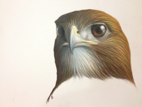 "Red-tailed Hawk- Buteo jamaicensis. 12x16"" prismacolor on bristol"