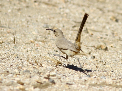 The Le Conte's Thrasher signature habit, running along the sand as if it were a Roadrunner.