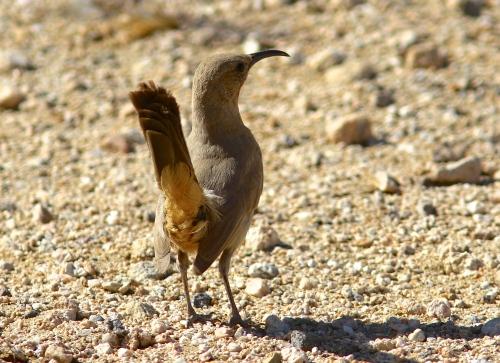 Le Conte's Thrasher- Toxostoma lecontei