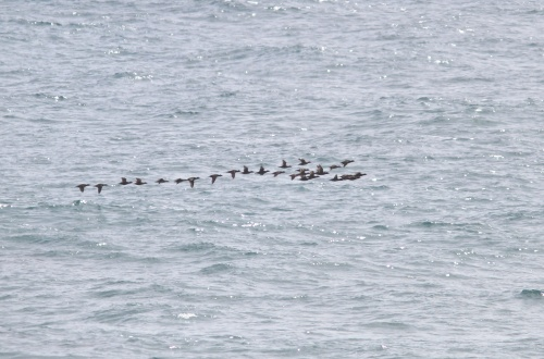 Surf Scoter- Melanitta perspicillata migrating north