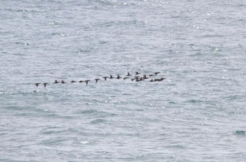 Surf Scoter- Melanitta perspicillata migrating north