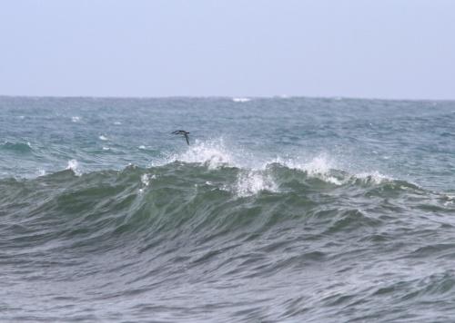 Pacific Loon- Gavia pacifica