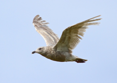 A first winer in its first pre basic molt Glaucous-winged Gull- Larus glaucescens