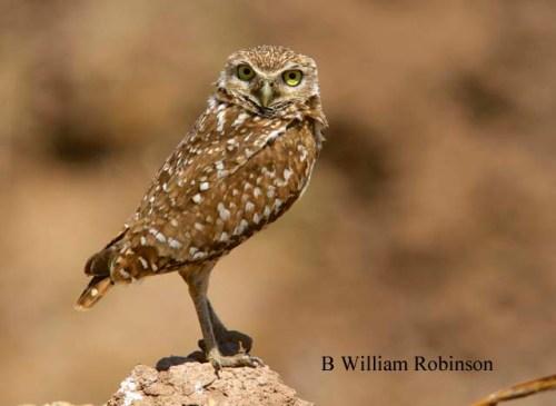 Burrowing Owl- Athene cunicularia