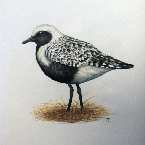 Black-bellied Plover- Pluvialis squatarola. Prismacolor on bristol board