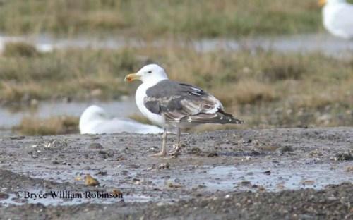 Great Black-backed Gull- Larus marinus