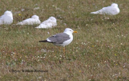 Lesser Black-backed Gull- Larus fuscus