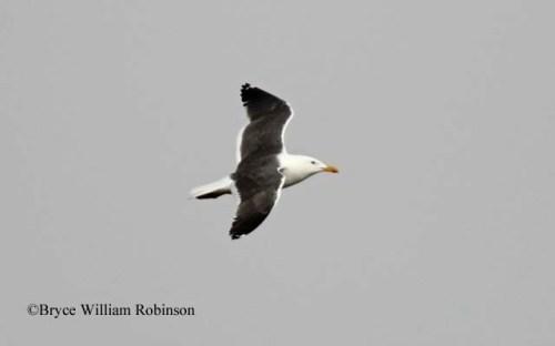 Lesser Black-backed Gull- Larus fuscus