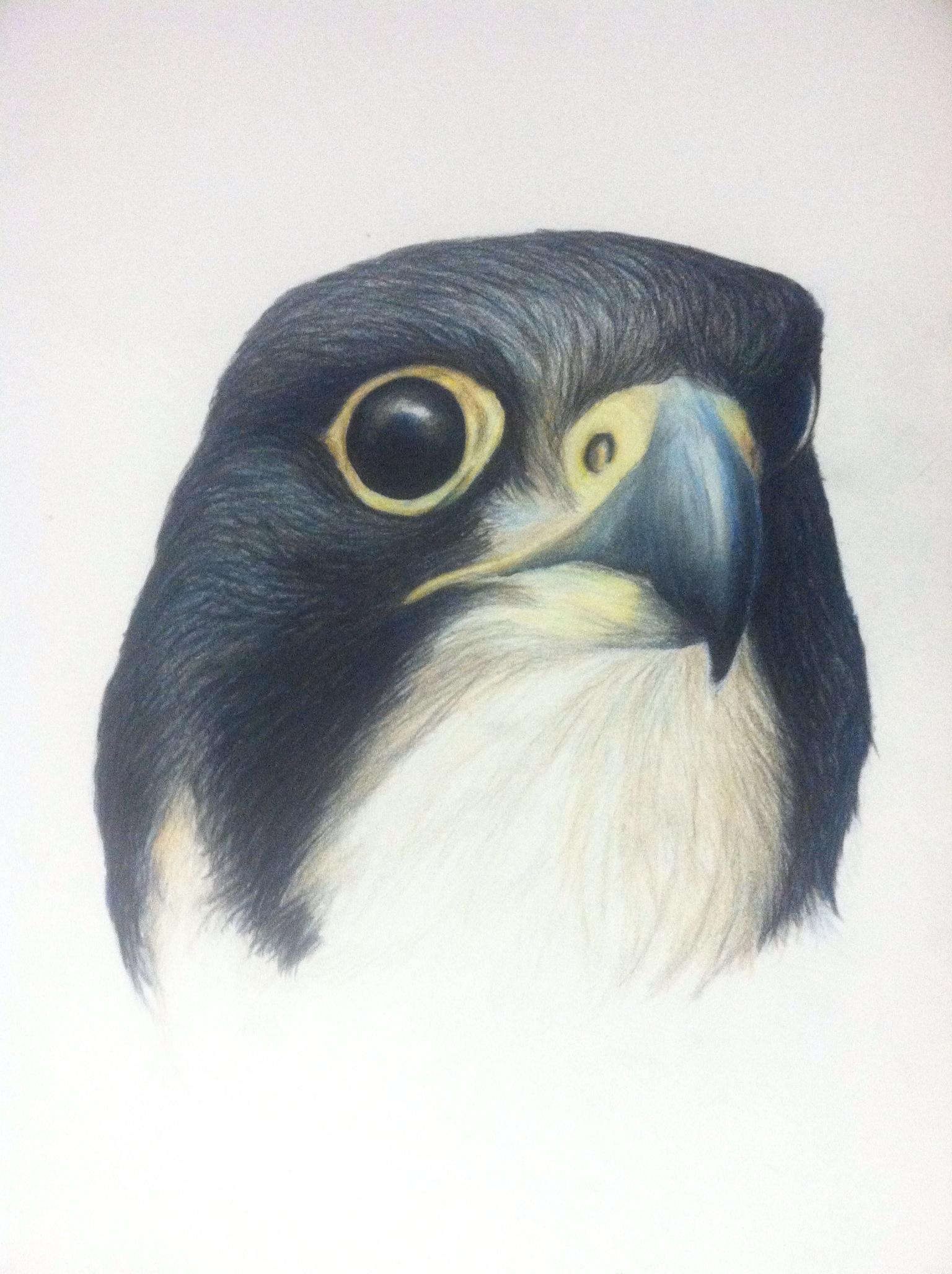 """Peregrine Falcon- Falco peregrinus. 11x18"""" prismacolor on bristol"""