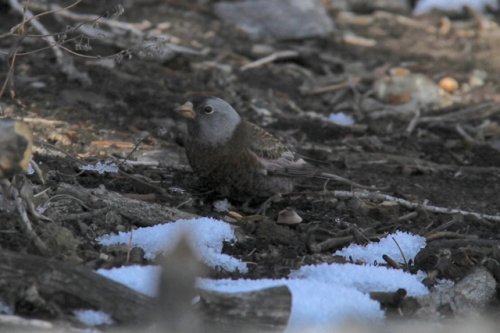 """""""Hepburns"""" Gray-crowned Rosy FInch. Goshutes Mountains, Nevada. October."""