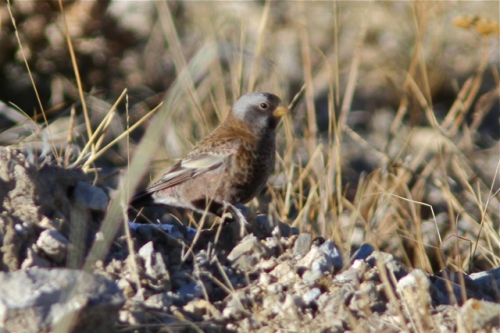 """Hepburns"" Gray-crowned Rosy Finch, exhibiting a great deal of ashy black on its cheek. West Desert of Utah, January."