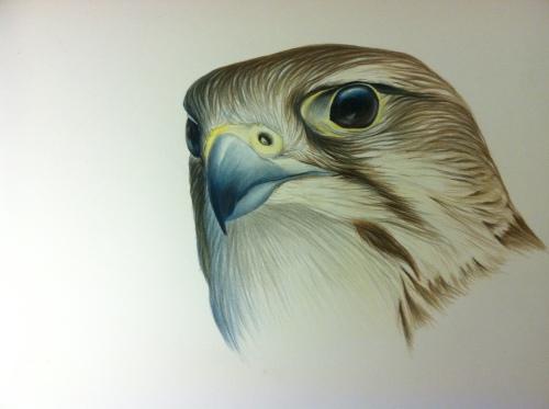 """Prairie Falcon- Falco mexicanus. 18x24"""" prismacolor on bristol"""