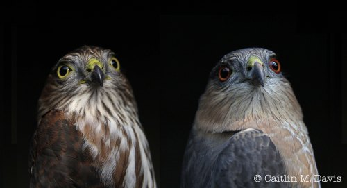 Hatch year (left) and adult (right) Sharp-shinned Hawks