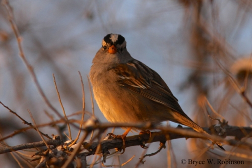 """Gambel's"" White-crowned Sparrow- Zonotrichia leucophrys gambelii"