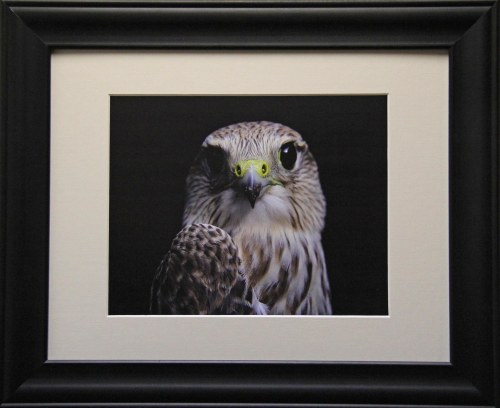 Portrait of a Prairie Merlin- Framed 8x10 Giclee Print
