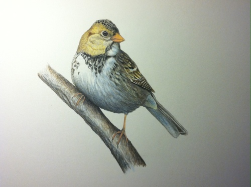 "Immature Harris's Sparrow- Zonotrichia querula. 9X11"" Prismacolor on bristol board"