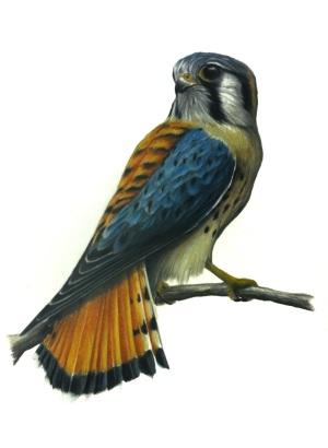 "Male American Kestrel- Falco sparverius. 11X17"" Prismacolor on bristol."