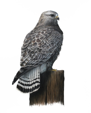 "Rough-legged Hawk- Buteo lagopus. 11x17"" prismacolor on bristol"