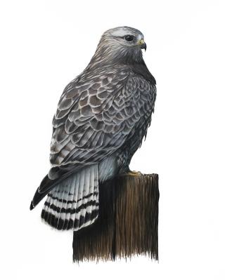 "Rough-legged Hawk- Buteo lagopus. 11x17"" prismacolor on bristol"
