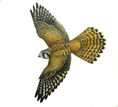Female American Kestrel- Falco sparverius. 11x17