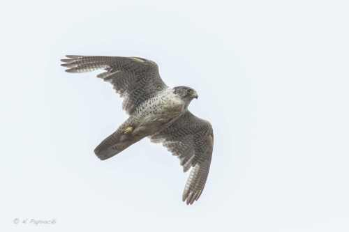 Adult female Gyrfalcon- Falco rusticolus