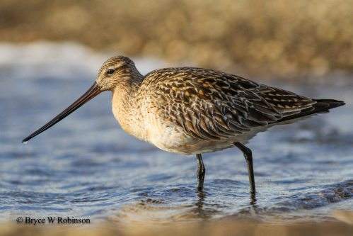 Female Bar-tailed Godwit