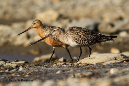 Bar-tailed Godwit - Male and Female