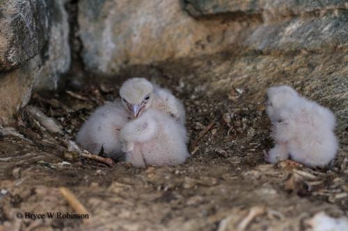 Gyrfalcon Nestlings