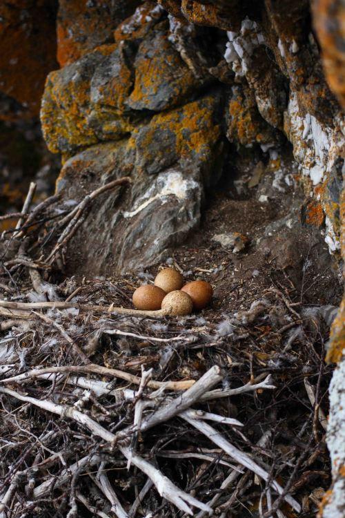 Gyrfalcon Nest