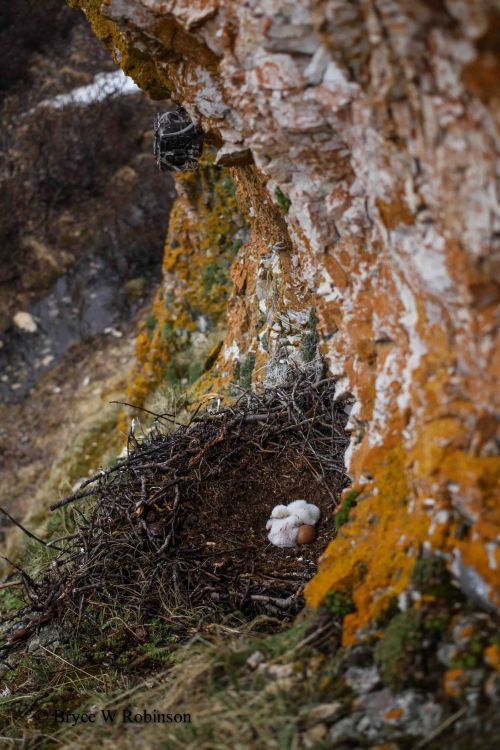 Gyrfalcon Nest with Camera