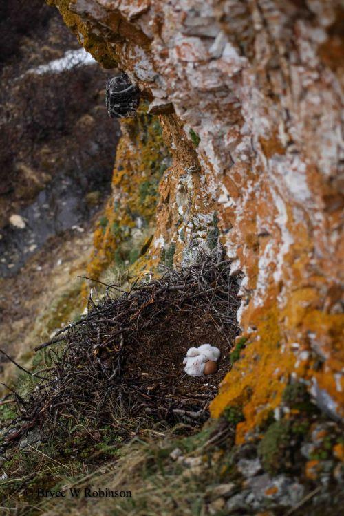 Gyrfalcon Nest with Camera